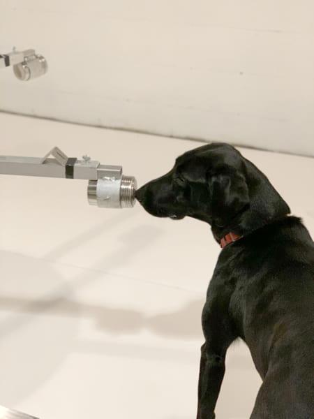 実験でウィルスのニオイを嗅ぎ分けるイヌたち。