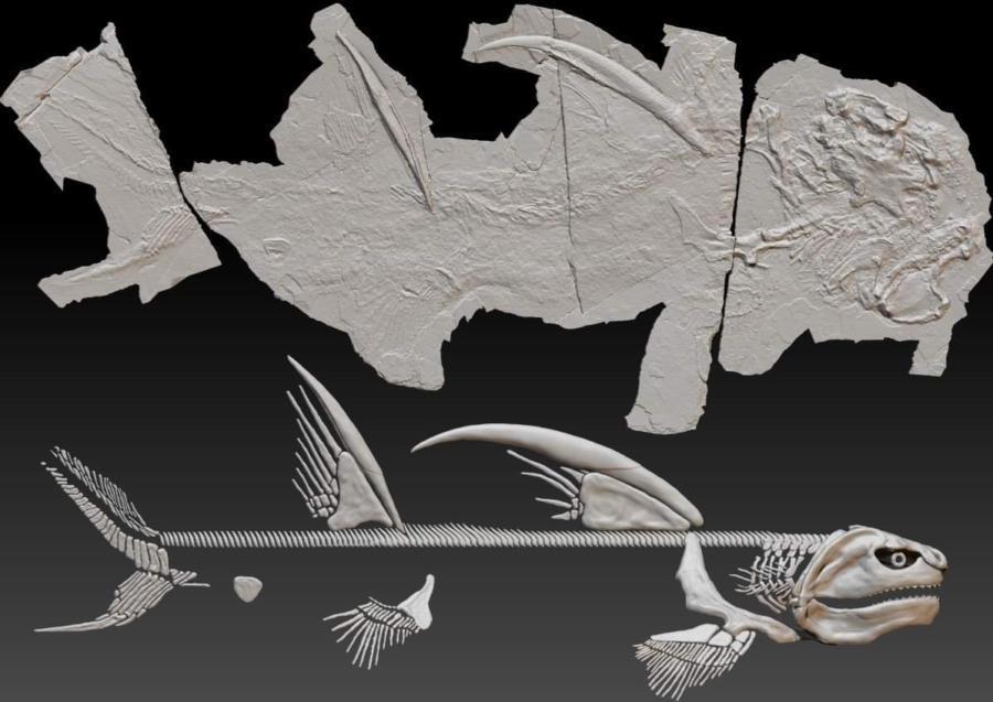 化石と骨格の復元イメージ