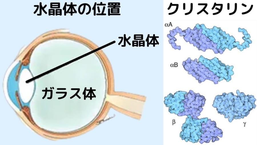 水晶体の細胞は核やミトコンドリアがなくなりクリスタリンで充填されている