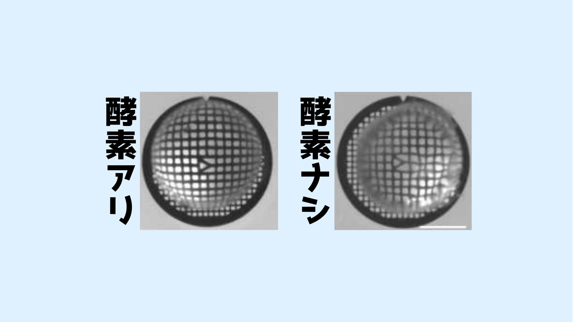 眼の水晶体が透明になる仕組みを解明! 溶かされるミトコンドリア