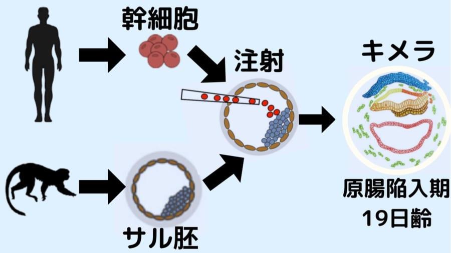 サルの胚盤胞にヒトの幹細胞を注射してキメラを作った