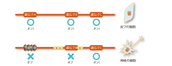 エピジェネティクス:エピゲノムによって遺伝子のオンオフ(発現)が切り替わる