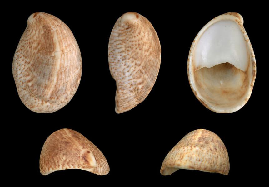 ネコゼフネガイの貝殻