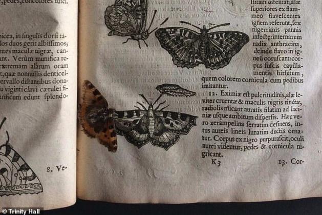 """「約400年前の蝶」の""""押し花""""がイギリス初の昆虫書から見つかる!(ケンブリッジ大学)"""
