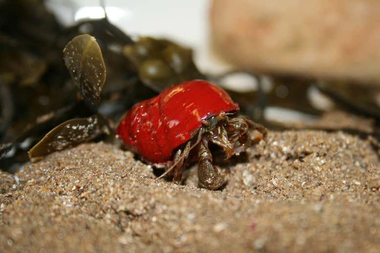 ヤドカリの殻選びは「色」で個性を出していた!「暗色の貝殻」を選ぶ傾向があると明らかに