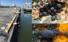 (A)発見場所の銚子外港、矢印が最終地点。(B,C)ツイッターに投稿されたチョウシハマベダニの画像。