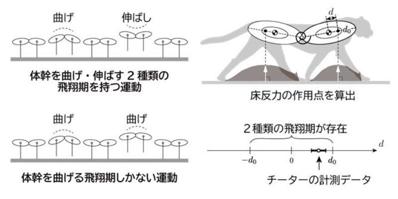 (左)飛翔期の違いとその運動, (右)チーターの運動から床反力の作用点を算出