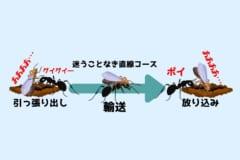 女王アリを他人の巣間に「放り込み」現地のオスと交尾させ奇妙な習性を確認!