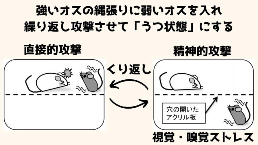 慢性社会的敗北ストレスになったマウスは人間のうつ状態と同じ様子をみせる