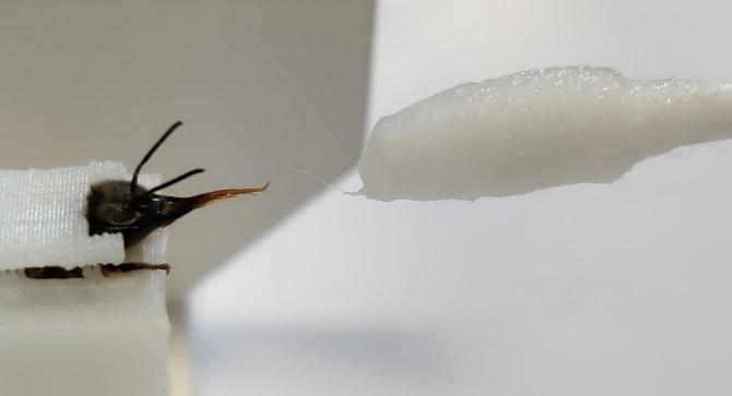 匂いに反応して舌を出すハチ(実験の様子)