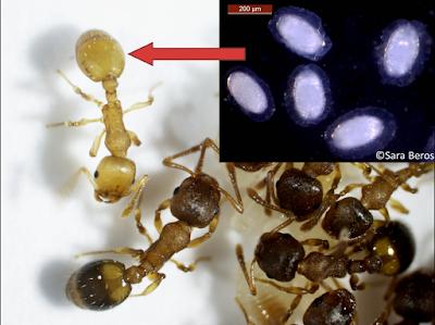 寄生されたアリは若いまま(右上がサナダムシ)