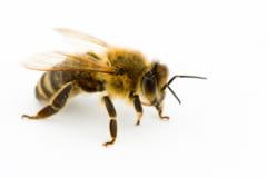コロナを検出できるハチが登場⁈