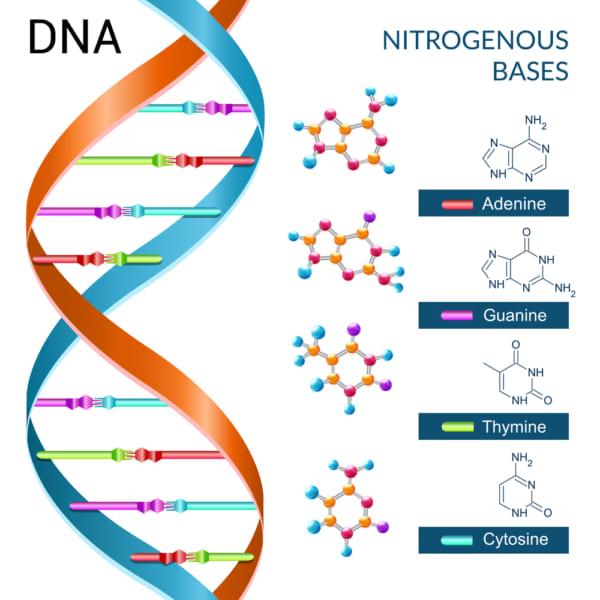 DNAは4種類の核酸が鎖となって情報を保存している。これを読み出すためには遺伝子解析が必要になる。