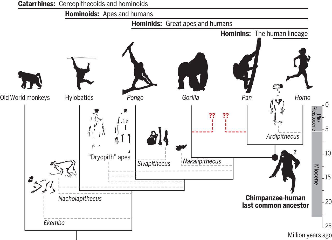 既知の化石からは納得のいく共通祖先が出来ない