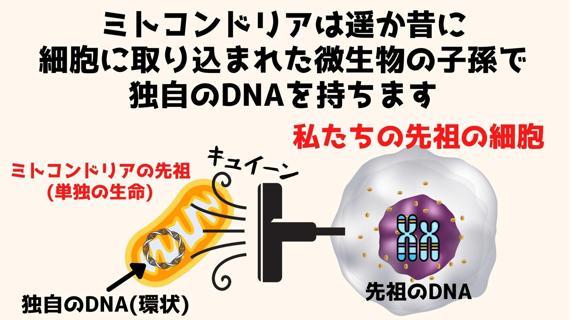 私たちの先祖は酸素呼吸能力をミトコンドリアを取り込むことで獲得し、真核生物へと進化した