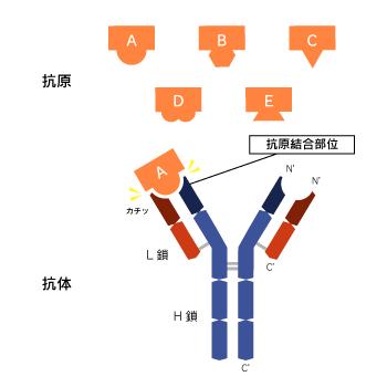 抗体は体内に侵入した病原体(抗原)と結合する