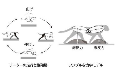 チーターはなぜ最も速く走れるのか? 高速走行を実現するメカニズムを解明