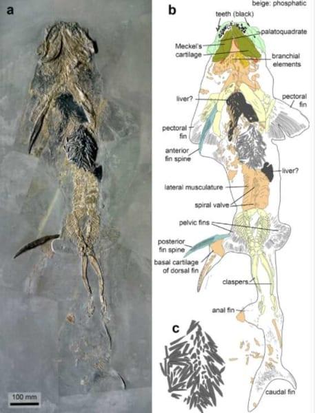 べレムナイトの殻を詰まらせて死んだヒボドゥスの化石