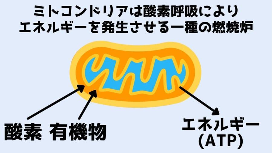ミトコンドリアは酸素呼吸によりエネルギーを作り出す燃焼炉である