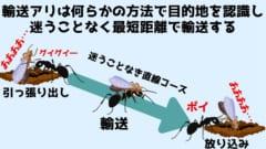 輸送を行うアリは遺伝的に最も遠い巣穴を目指して女王を運ぶ