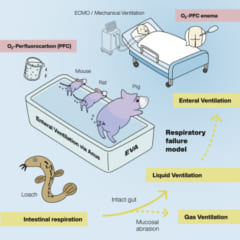 腸呼吸の実験方法