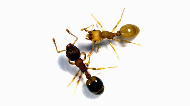 黄色いアリが寄生された個体