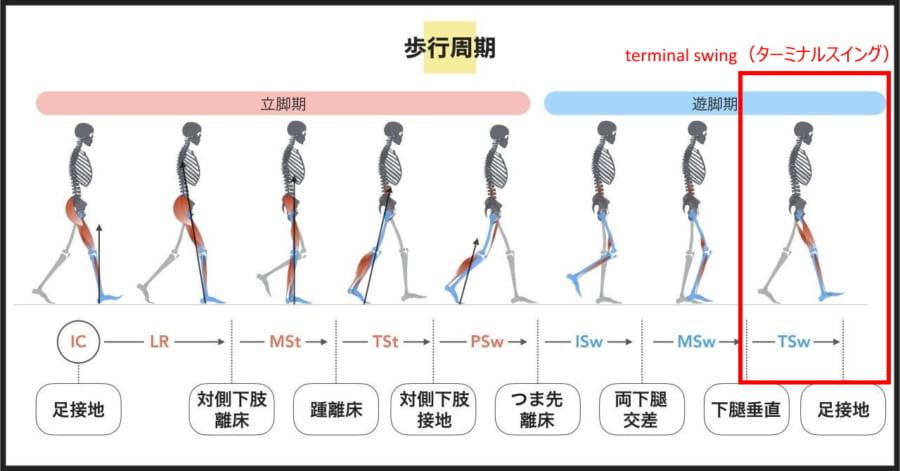 人間の歩行周期。デバイスがサポートするのは最後のターミナルスイング。