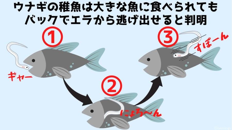 ウナギの稚魚は大きな魚に食べられても バックでエラから逃げ出せると判明