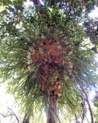 外套葉(茶色)、胞子葉(緑)