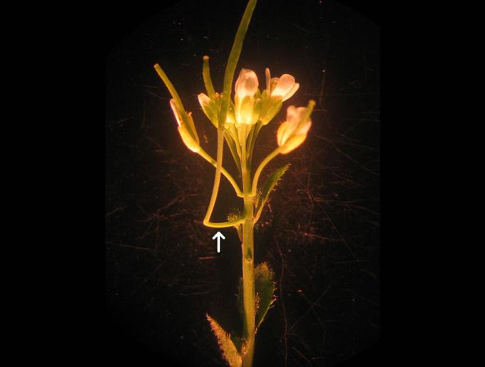 近所でもよく見かける「ペンペン草」に100年以上見過ごされてきた「新器官」を発見!