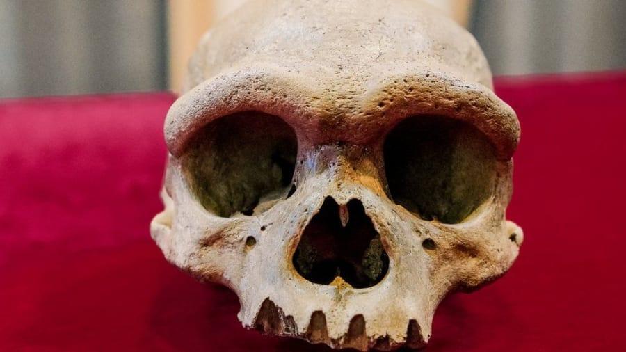 「ドラゴンマン」の頭蓋骨