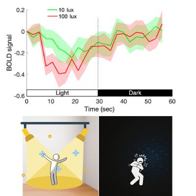 照明と暗闇を交互に繰り返した際の、扁桃体の活動の平均値