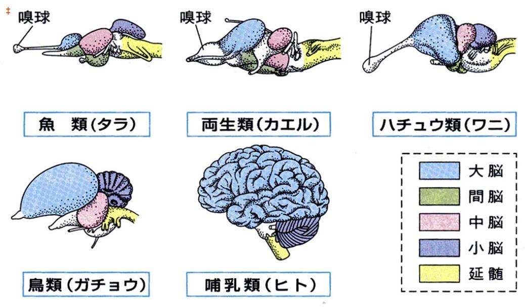 脊椎動物の種類ごとの脳の構造