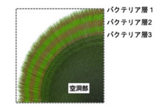 マリモ内部に見られるバクテリア層