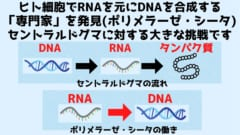 セントラルドグマはDNA➔RNA➔タンパク質の流れを示すが新たな発見によりRNAからDNAを合成する能力が人間の細胞にもあった