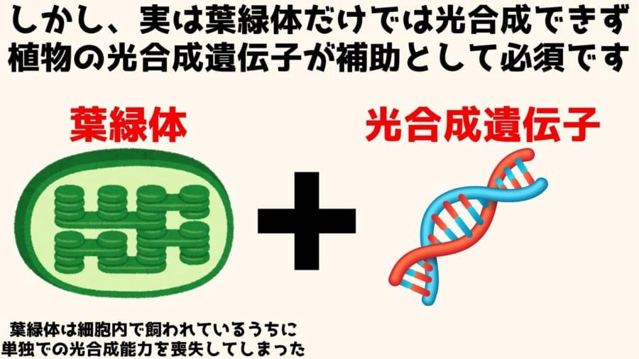 光合成を行うには葉緑体とそれを支える光合成遺伝子が必要