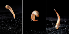ジャンプする魚マングローブ・キリフィッシュ