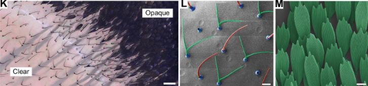 ツマジロスカシマダラの羽の不透明領域と透明領域の比較