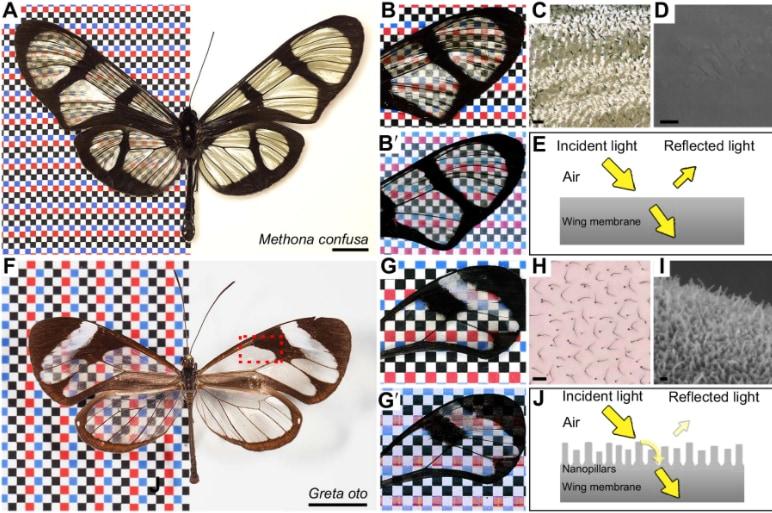 (上)やや透明な羽をもつコンフサトンボマダラ, (下)高い透明度を誇るツマジロスカシマダラ