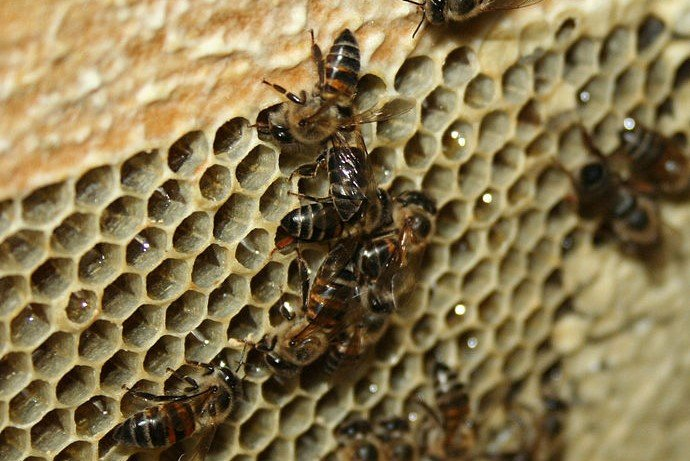 ケープミツバチ