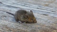 メスと体を縫い合わされ子宮移植を受けたオスマウスが出産成功!