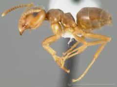 Pale-legged Field Ant(学名:Lasius pallitarsis)