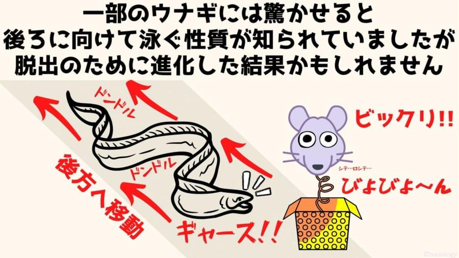 一部のウナギには驚かせると 後ろに向けて泳ぐ性質が知られていましたが 脱出のために進化した結果かもしれません