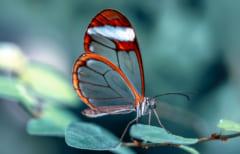 透明な羽をもつツマジロスカシマダラ