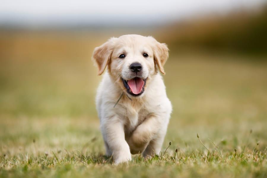犬が持つ「人との社交スキル」は遺伝的に備わっていたと示される