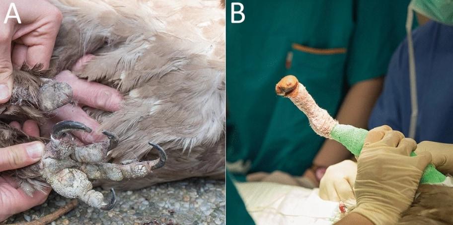 片足を失ったヒゲワシのミア