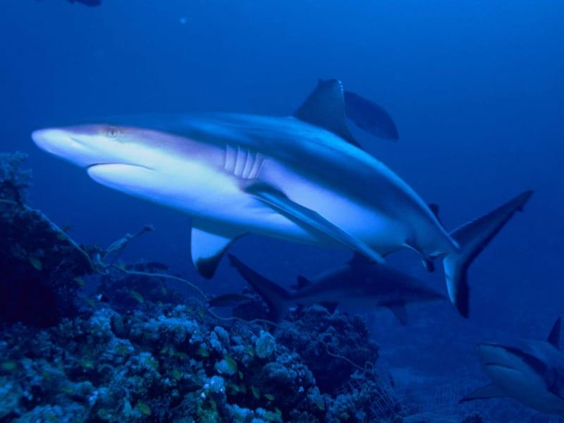 インド太平洋のサンゴ礁に分布する「オグロメジロザメ」