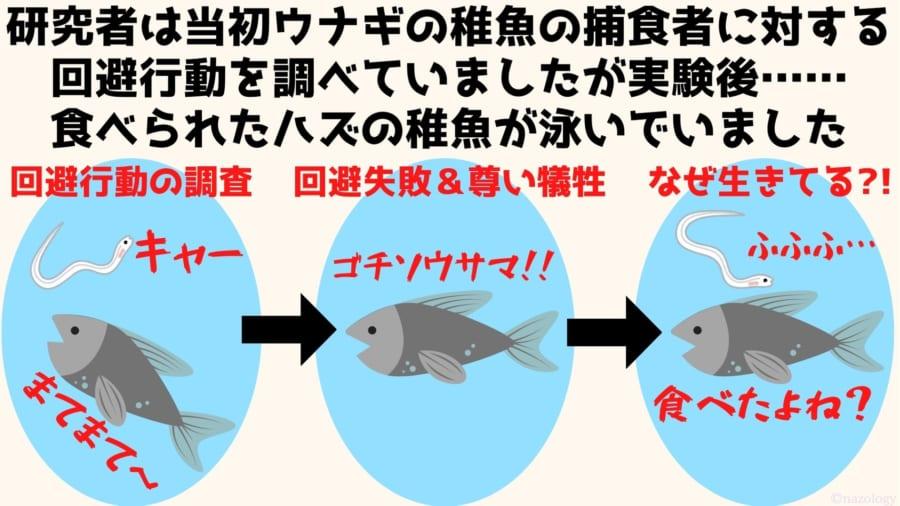 研究者は当初ウナギの稚魚の捕食者に対する 回避行動を調べていましたが実験後…… 食べられたハズの稚魚が泳いでいました