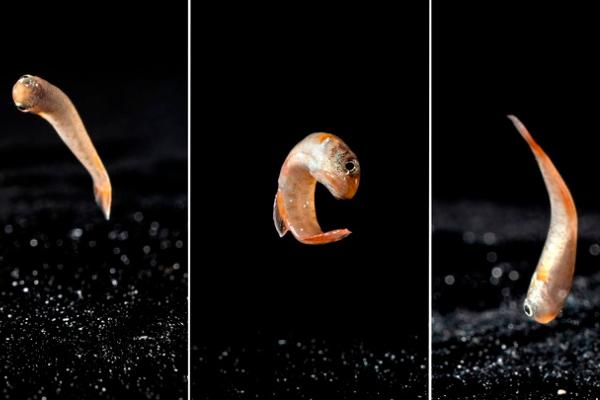 2ヶ月間「陸をはねて他の池に移動できる魚」は地上で脳を発達させると明らかに