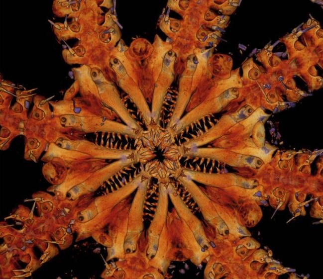 10年前の「新種ヒトデ」が約1億8000万年前の生き残りだったと判明